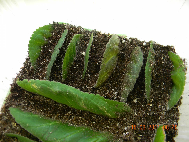 Размножение глоксинии листом и семенами в домашних условиях, пошаговая