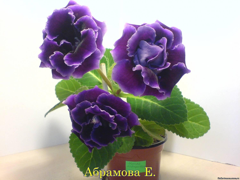 камень Калининградской глоксиния махровая фиолетовая сорта привод, механическая